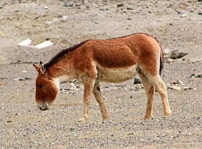 Kiang Large Wild Donkey Of Tibet Animal Pictures And
