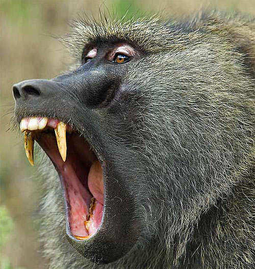 olive baboon teeth mouth