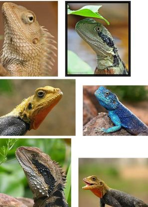 Different types of Lizards