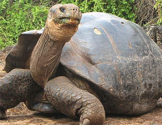 Image result for huge tortoise pictures