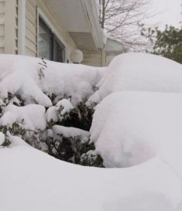 winterizeshrubs