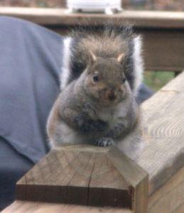 pestsquirrel