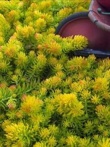 waltersgardens-lo4366-sedum-repestreangelina