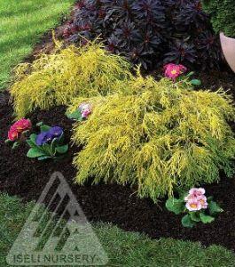pisifera gold mop iseli nursery