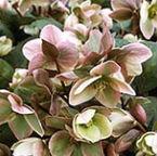 helleborus garden splendor