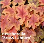 heucherella brass lantern garden splendor