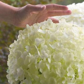 hydrangea incrediball proven winners