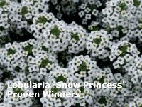 lobularia snow princess proven winners