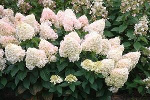 Hydrangea-paniculata-Pee-Wee-