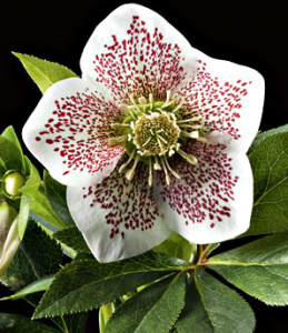 hellebore conny white flower farms