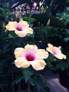 hibiscusyellow