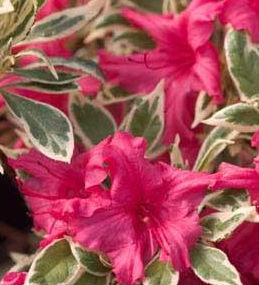 bollywood azalea proven winners