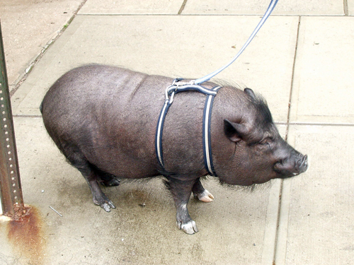 Emmett The Pig Takes A Leak