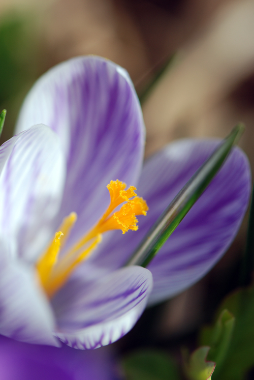 This crocus is actual from in front of our house in Flatbush. © Frank H. Jump