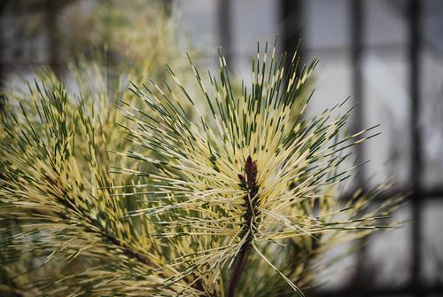 Variegated Pine