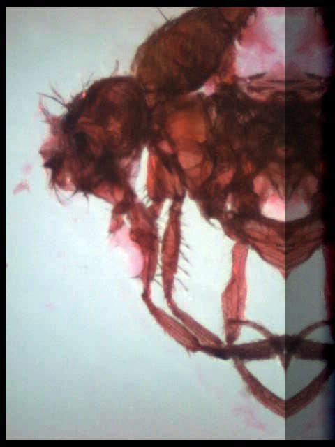 Drosophila ©Frank H. Jump