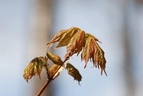 Pocono Maple Buds