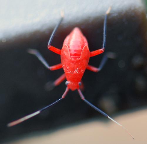 Pocono Red Insect