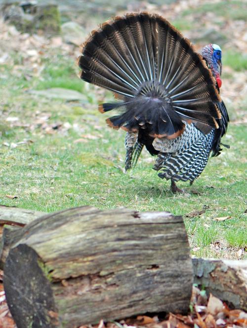 Turkey in Poconos - © Frank H. Jump