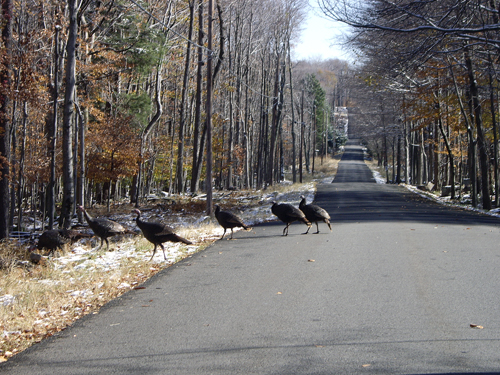 Wild Turkeys Escaping the Slaughter - NEPA