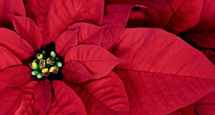 Stella Di Natale Euphorbia Pulcherrima Fai Da Te In Giardino