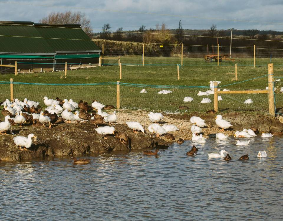 Organic High Welfare Ducks