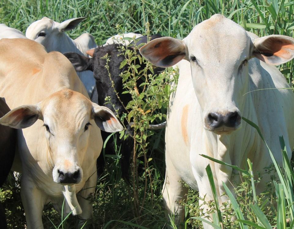 Brazil Cattle