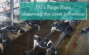 FAI's Paige Hunt observing the cows behaviour