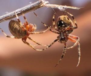 Spider Fights – Philippine Blood Sport?