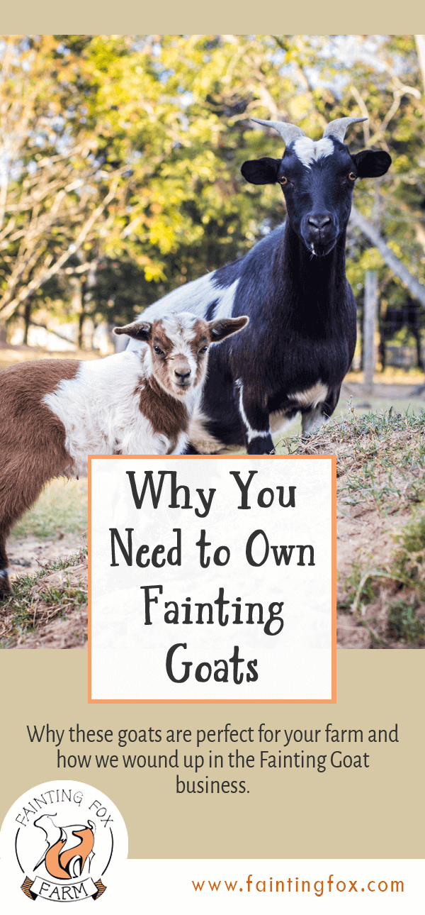 Why You Need to Own Fainting Goats