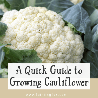 Growing Cauliflower, Fainting Fox Farm