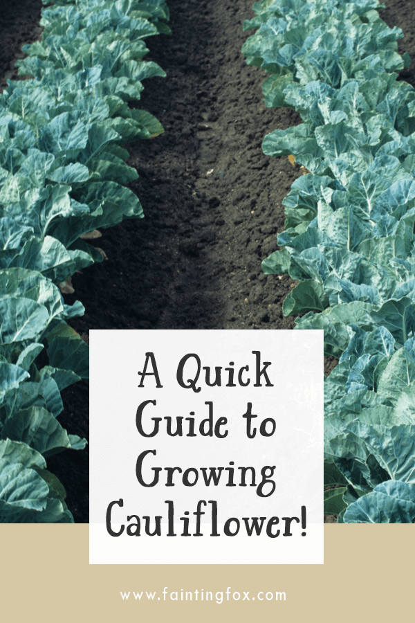 A Quick Guide to Growing Cauliflower | Fainting Fox Farm