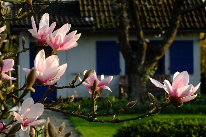 magnolia, flowers, spring