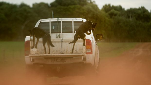 Farmers, and their dogs, are jumping for joy over the high prices for livestock.