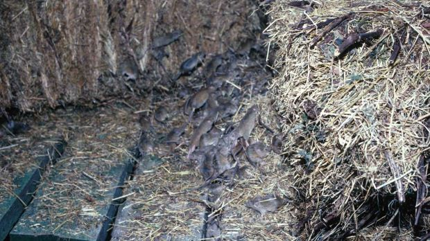 "Mice among the hay. But, according to Steve Henry, research officer with the CSIRO, it's ""not a plague at the moment""."