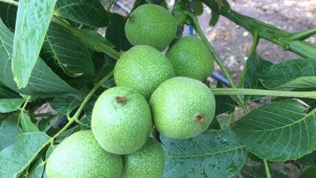 Processing of WA's first walnut harvest has started.