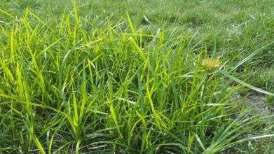 Weed nutsedge grass compared to preferred grass varieties