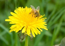 Dandelion providing honey - so amazing!