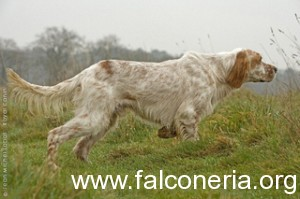 english_setter_0024_phototheque