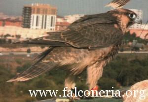 addestramento falconi altani 0007b