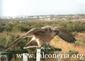 addestramento falconi altani 0010