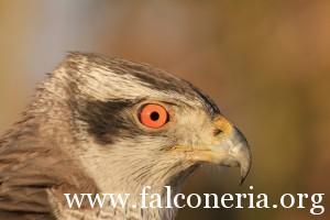 falconeria 5