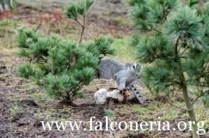 falconeria 7