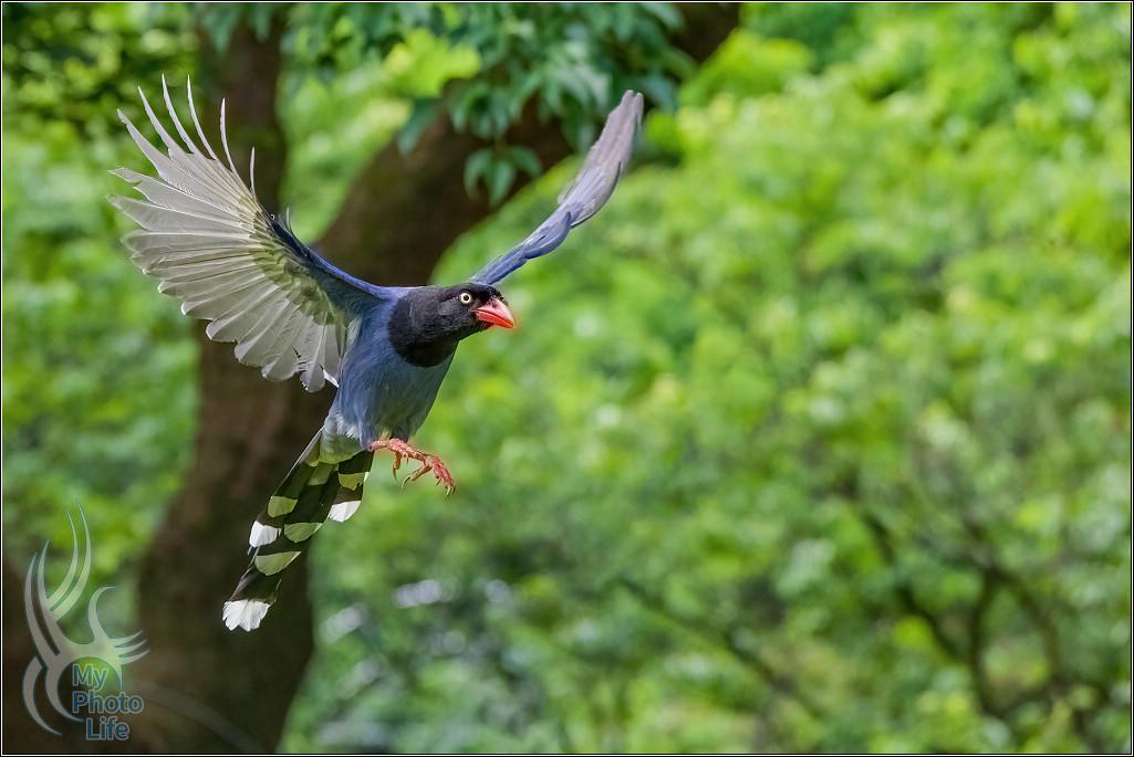 台灣藍鵲飛行版拍攝初體驗7385