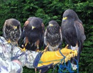 Team of Harris Hawks all on contact