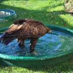 Golden Eagle in a Bath