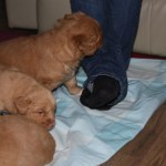 Tollers playing