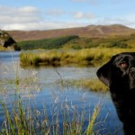 Black labrador retriever in Scotland.