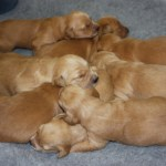 Fantastic goldie litter.