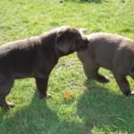 Chocolate labrador puppies.